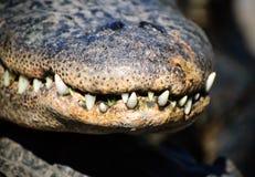 De tanden van de krokodil Stock Afbeelding