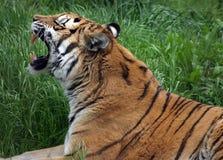 De tanden van tijgers. stock afbeeldingen