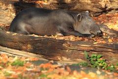 De tapir van Baird stock foto's