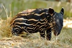 De tapir van de baby Royalty-vrije Stock Foto's