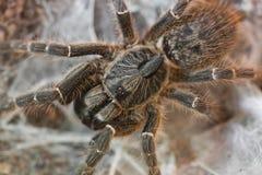 De Tarantula van de hinderlaag Stock Foto