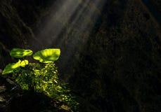 De taro verlaat het gloeien en glanzend van zonstraal informeer het donkere hol waar zijn groei stock foto