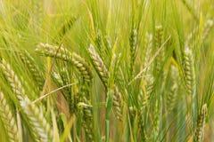 De tarwe groeit op het gebied Royalty-vrije Stock Fotografie