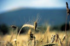 De tarwe plateaux van DrÃ'me Provençale tussen overzees en bergen, Frankrijk royalty-vrije stock foto