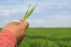 De tarwe van de landbouwersholding in zijn hand royalty-vrije stock afbeelding