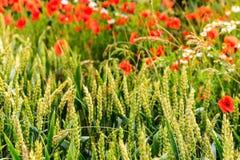 De tarwe van de zomer met rode papavers Royalty-vrije Stock Foto's