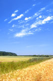De tarwegebied van de zomer Stock Foto's