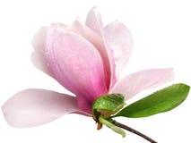 De tedere bloem van de de lente roze die magnolia op witte achtergrond wordt geïsoleerd Royalty-vrije Stock Afbeeldingen