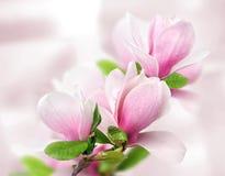 De tedere bloemen van de de lente roze magnolia stock foto