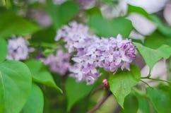 De tedere macro van tak purpere lilac bloemen in openlucht Stock Foto
