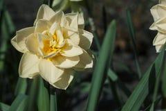 De tedere narcissen van de de lentebloem Royalty-vrije Stock Foto