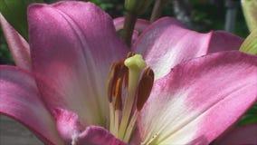 De tedere oranje lelies groeien in de tuin stock videobeelden