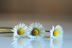 de tederheid van madeliefjesbloemen Stock Afbeeldingen