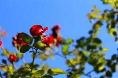 De tederheid van rozen Rode rozen in de zon Boom op gebied stock afbeelding