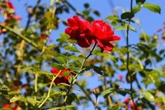 De tederheid van rozen Rode rozen in de zon Boom op gebied stock afbeeldingen