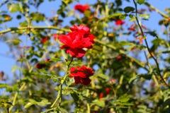 De tederheid van rozen Rode rozen in de zon Boom op gebied royalty-vrije stock afbeelding