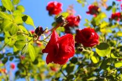 De tederheid van rozen Rode rozen in de zon Boom op gebied royalty-vrije stock afbeeldingen