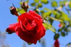 De tederheid van rozen Rode rozen in de zon Boom op gebied stock foto's