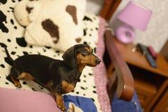 De tekkel op een bed Royalty-vrije Stock Fotografie