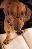 De Tekkel van de hond in glazen en boek royalty-vrije stock afbeelding
