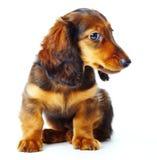 De tekkel van het puppy Stock Fotografie