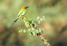 De telelensspruit van Groene de bij-eter vogel in de wildernissen van Sri Lanka stock foto's