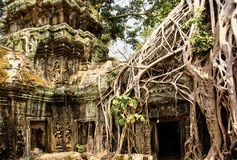 De tempel van Ta Prohm met Banyan-bomen wordt behandeld die Angkor Wat, Siem oogst, Kambodja stock foto's