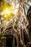 De tempel van Ta Prohm met Banyan-bomen wordt behandeld die Angkor Wat, Siem oogst, Kambodja stock afbeeldingen