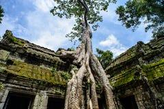 De Tempel van Ta Prohm met Boom het Voortkomen uit het, Siem Royalty-vrije Stock Afbeeldingen