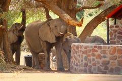 De tent van de de babytoevlucht van woestijnolifanten, Namibië stock afbeelding