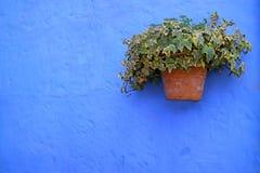 De terracottaplanter van groene Algerijnse Klimopinstallaties op het trillende blauw kleurde ruwe oude muur stock foto's