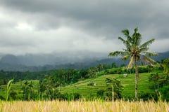 De Terrassen van de Jatiluwihrijst - Bali stock afbeelding