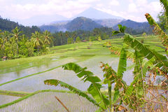 De terrassen van de rijst van Azië Stock Afbeeldingen