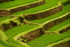 De terrassen van de rijst van Jatiluwih, Bali Stock Fotografie