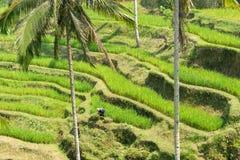 De Terrassen van de Tegalalangrijst in Ubud, Bali, Indonesië Stock Foto's