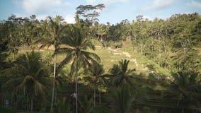 De Terrassen van de Tegallalangrijst in Ubud stock videobeelden