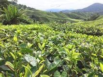 De terrassen van de theeaanplanting in Maleisië royalty-vrije stock afbeeldingen