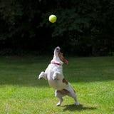 De terriër die van Jack Russell voor een bal springt royalty-vrije stock afbeeldingen