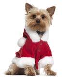 De Terriër die van Yorkshire de uitrusting van de Kerstman draagt Royalty-vrije Stock Afbeeldingen