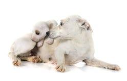 De terriër en de moeder van de puppyhefboom russel Stock Foto