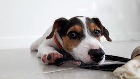 De terriër van de hefboomrussell van de puppyhond Royalty-vrije Stock Afbeeldingen