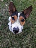 De terriër van de hefboomrussell van de puppyhond Stock Fotografie