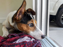 De terriër van de hefboomrussell van de puppyhond Royalty-vrije Stock Foto