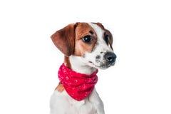 De terriër van de hefboomRussell van het puppy Royalty-vrije Stock Afbeelding