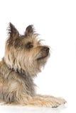 De terriër van de hond in zijaanzicht Stock Fotografie