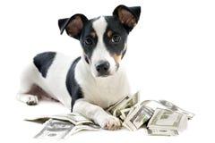 De terriër van Jack russel met dollars Stock Afbeeldingen