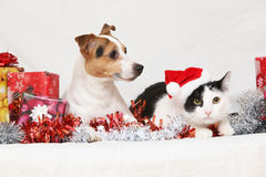 De terriër van Kerstmisjack rusell met een kat Stock Afbeeldingen