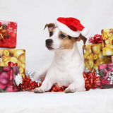 De terriër van Kerstmisjack russell met giften Stock Foto's