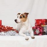De terriër van Kerstmisjack russell met giften Stock Foto