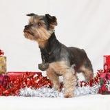 De terriër van Kerstmisyorkshire Stock Afbeelding